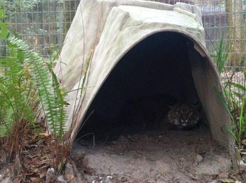 A rare peek at Skip the bobcat in his den