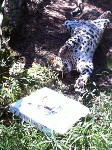 Leopards still having fun with pizza boxes