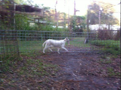 Pharaoh the white serval prances through tunnel with turkey prize