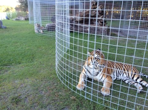 Tigers lining up for turkey at Big Cat Rescue