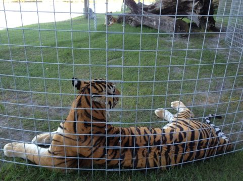 Andre and Arthur; two of the new TX tigers