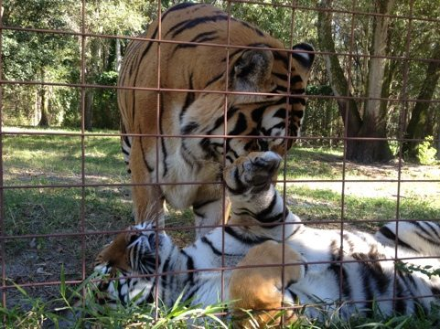 Most tigers prefer to live alone, but Shere Khan and China Doll enjoy each other