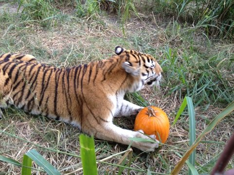 Bella tiger gets a pumpkin for all of her tracking work today