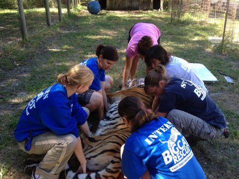 Interns, Staff and Volunteers lift sedated Simba tiger onto scale