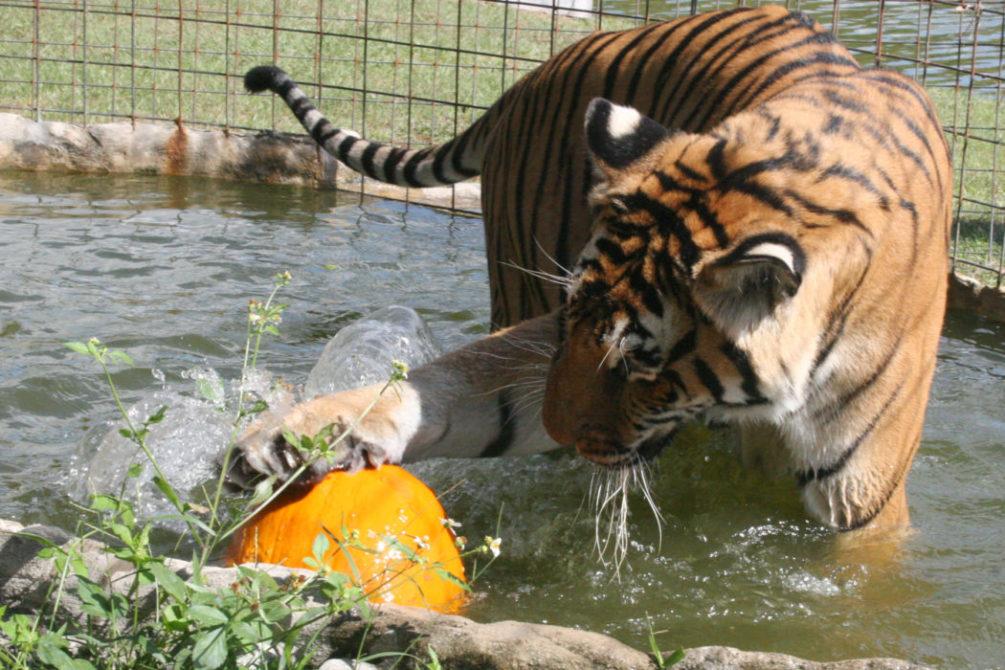 Bengali Tigre