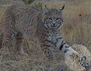 Bobcat Leg hold Trap