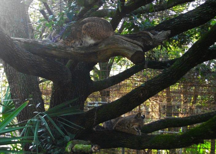 Bobcats In Tree Little White Dove Running Bear