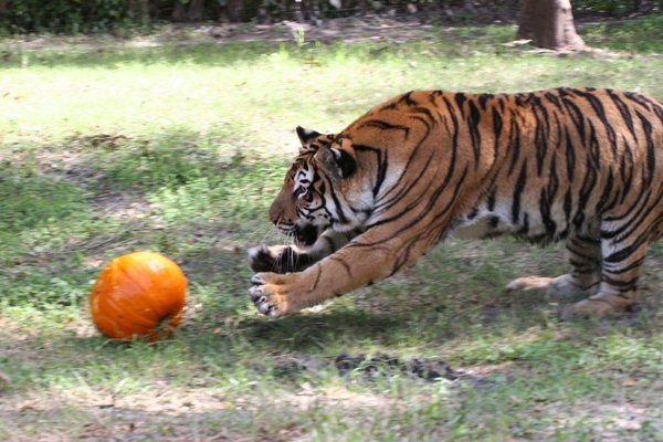 Today at Big Cat Rescue Oct 13