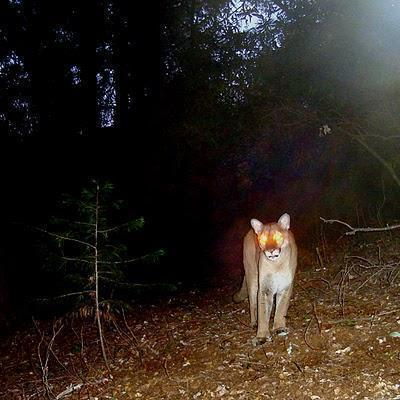 Extinct cougar caught on film in NY state 2011 Oct 07