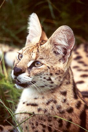 Esmerelda the serval back when she was younger