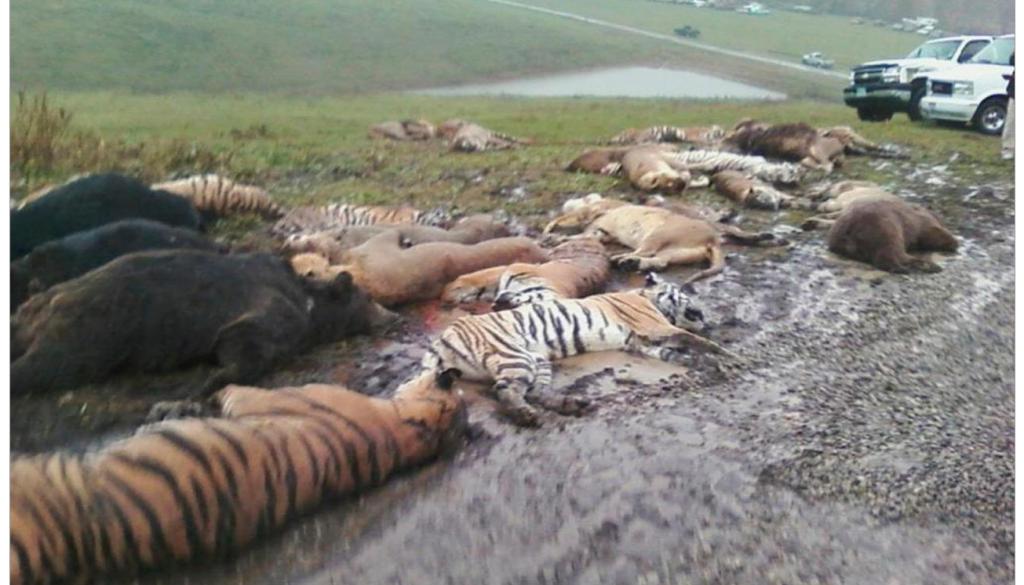 Zanesville Massacre 18 tigers 17 lions 3 cougars gunned down
