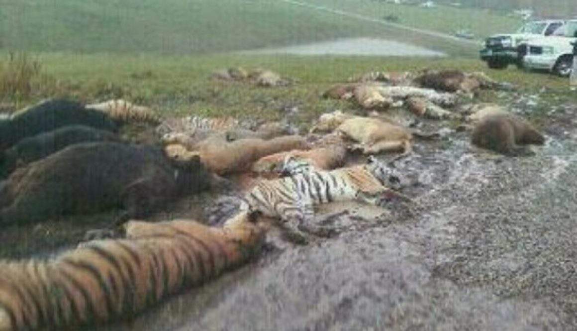Zanesville Massacre 18 tigers 17 lions 3 cougars gunned down