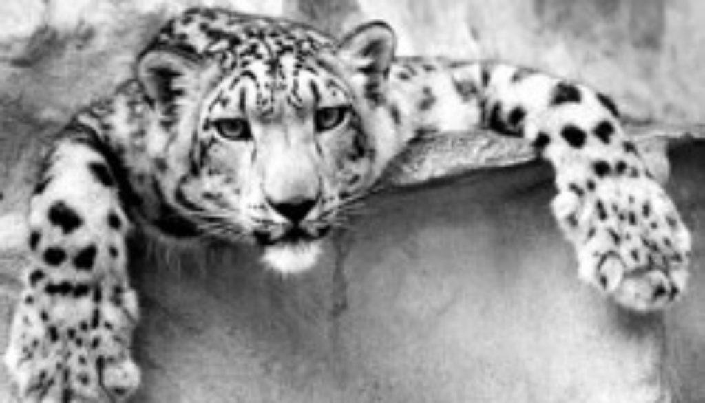 snowleopardbw