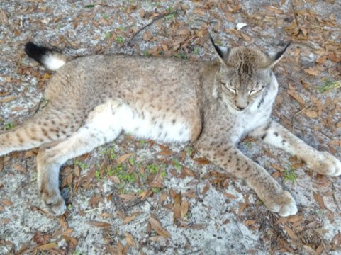 Kanawha the Siberian Lynx snoozes away in her cat-a-tat in the woods