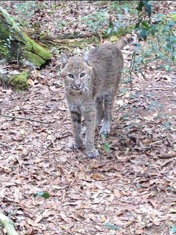 Skinny little Ace the bobcat is pretty much deaf & blind but gets along well