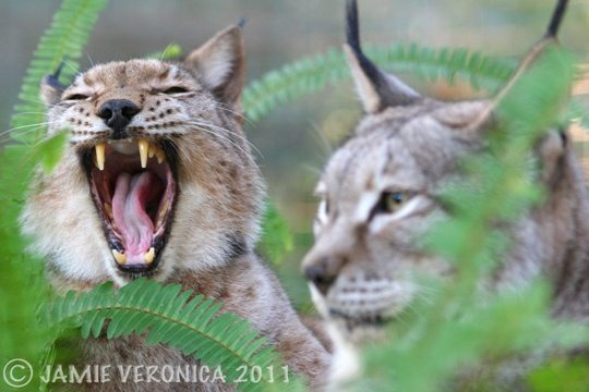 Natasha and Willow the Siberian Lynx