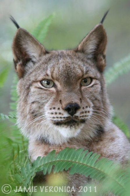 Willow the Siberian Lynx
