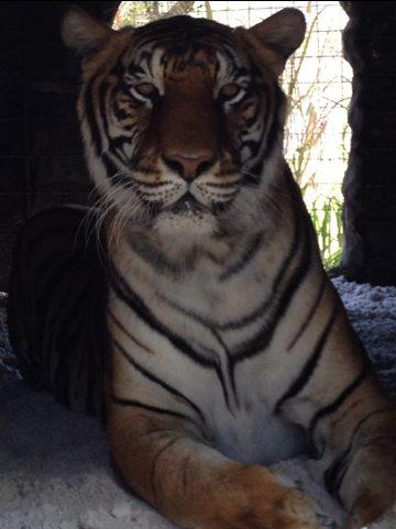 S.A.R.M.O.T.I. the tiger enjoys new sandy den