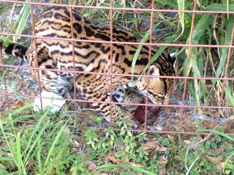Amazing Grace the ocelot enjoys a blood 'cicle and ditty bag