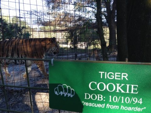 Cookie the tiger is doing well after her surgery to remove tumor