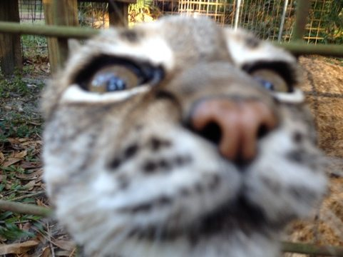 Little Feather the bobcat sticks her nose through the wire
