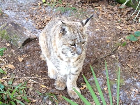 Alex the bobcat thinks that Little Dove is pretty cute