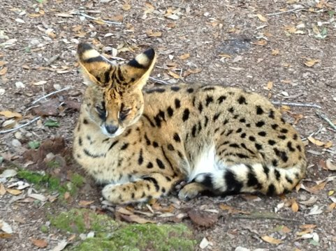Bongo serval realizes I have no food with me and shows his disdain