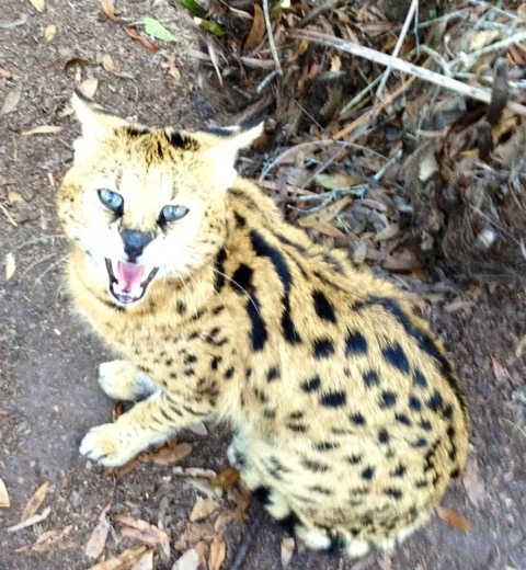 Lucky serval gets VERY hissy as dinner approaches