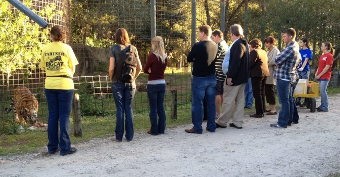 Feeding tour led by Jen and backed up by Kym watch tigers eat