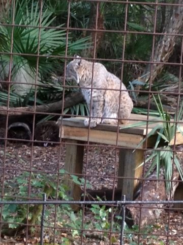Little Dove the bobcat loves her new platform by Enrichment Committee