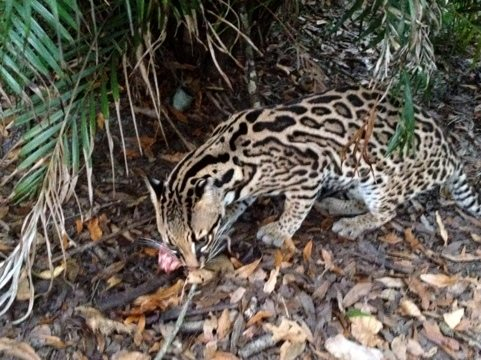 PurrFection the ocelot says she would rather have a rat than turkey