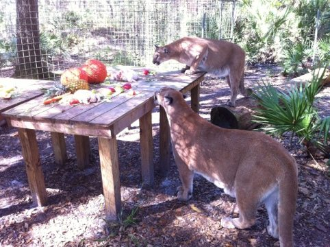 "Ares and Orion the cougar ""cubs"" are always first on the scene"