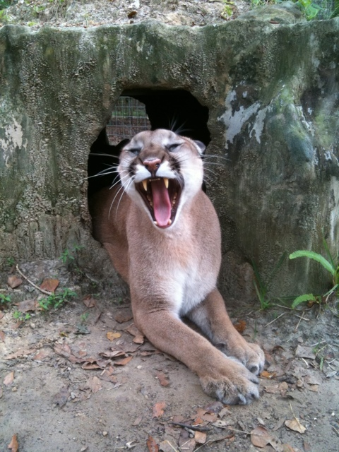 Keepers are greeted by sleepy cats emerging from dens each morning