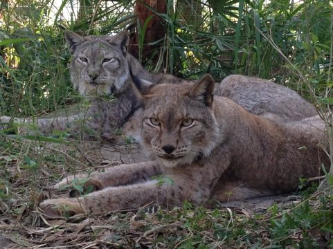 These Siberian Lynx have a huge complex thanks to former building by Vern