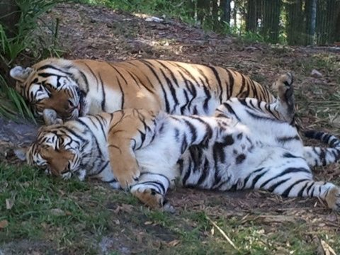 Shere Khan and China Doll the tigers snuggling