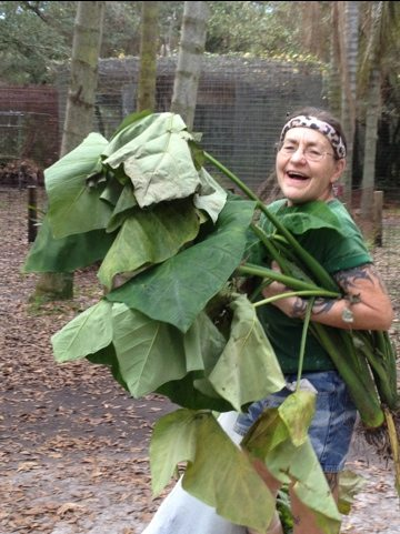 Rosey recycling elephant ears that were culled for cage painting