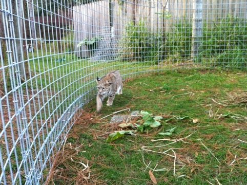 Windstar the bobcat raced in circles around his new Cat-a-tat