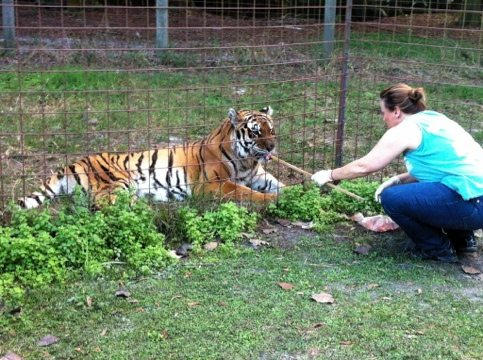 Regina giving Simba the tigress her evening meds