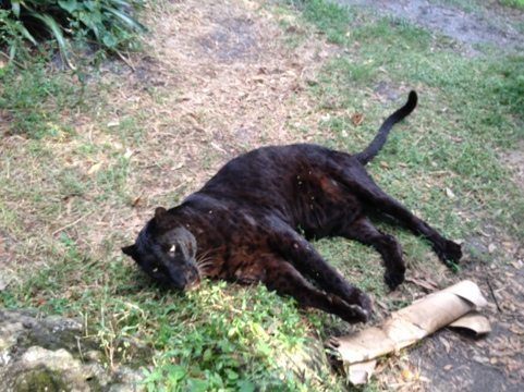 Jumanji the black leopard vys for attention from Reno