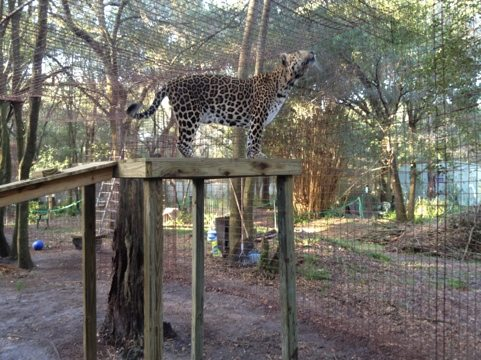 It's scary how big cats are always looking for any possible escape route