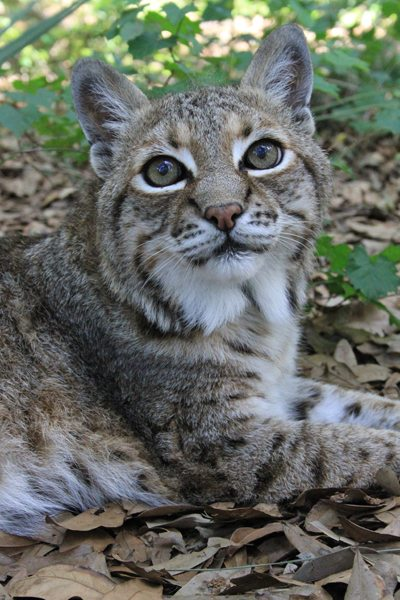 Bobcat_LittleFeather