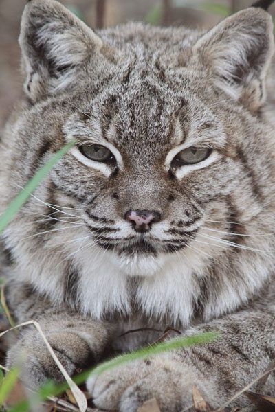 RainDance The Bobcat