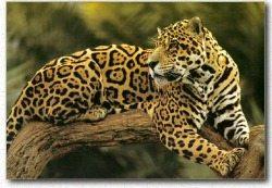 Jaguar Facts | Big Cat Rescue