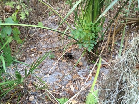 Several good den options along Rocky Creek that could house a bobcat
