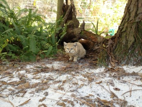 Rare view of Genie the Sand Cat in her sandy cat-a-tat
