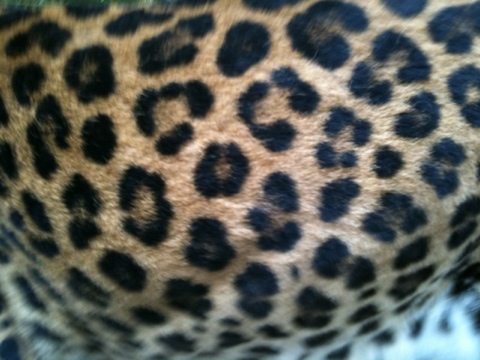Can you guess which leopard?