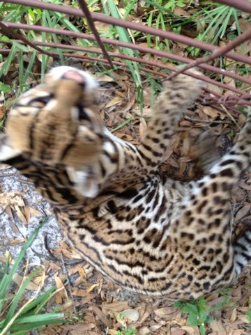 Amazing Grace the ocelot watches cage improvements next door