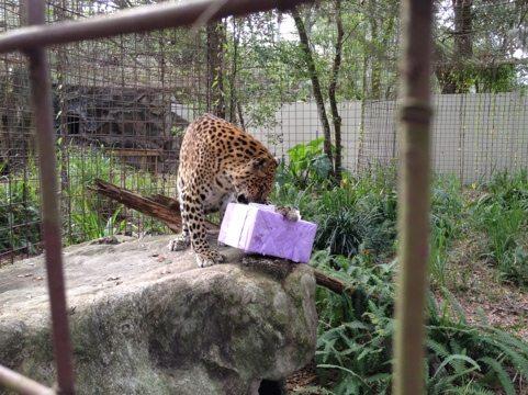 Sundari the leopard enjoys her holiday gift by Enrichment Elves