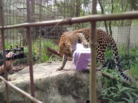 Sundari the leopard enjoys her holiday gift by Enrichment Elves