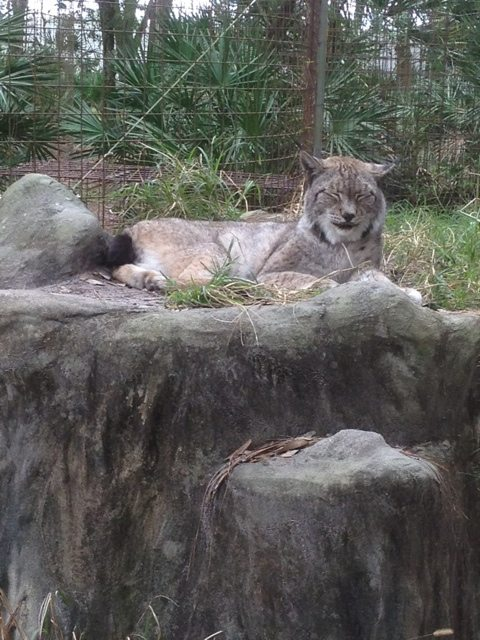 Kanawha the Siberian Lynx will be 23 next month